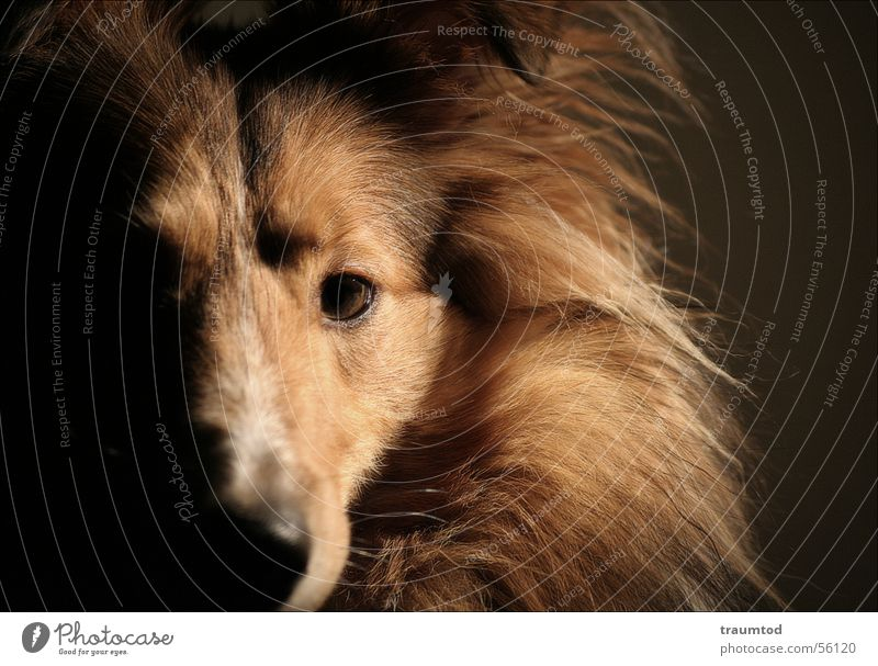 what do you want from me Hund Shetland Collie Porträt Haustier Welpe Wollknäuel Fell schwarz Tier Hundekopf Liebling Treue sheltie sheepdog Rassehund