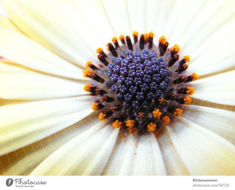 Flower Natur Blume violett weiß Makroaufnahme flower flowers Detailaufnahme orange