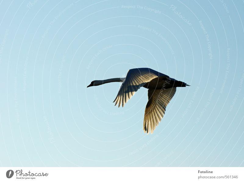 Mein lieber Schwan! Himmel schön Tier natürlich hell Vogel fliegen Flügel Wolkenloser Himmel