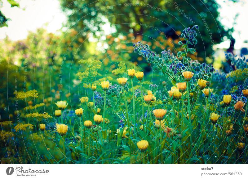 Sommer-Melancholie blau grün Pflanze Blume gelb Traurigkeit Blüte Garten Blühend Wiesenblume Bauerngarten
