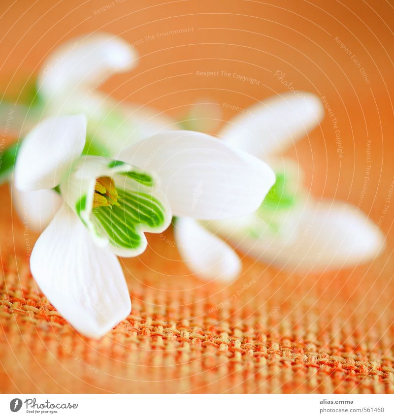 schneeglöckchen Natur weiß Blume Winter Frühling Blüte orange zart Quadrat Schneeglöckchen Frühlingsblume