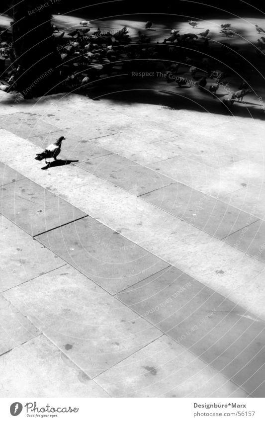 Barcelona Tauben weiß Sonne Wege & Pfade Vogel Beton Platz Kot Taube Pflastersteine Schwarm