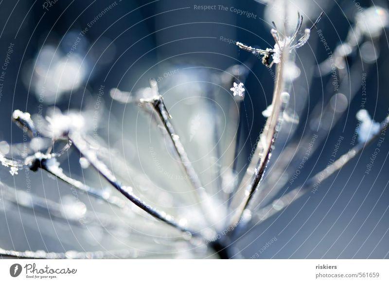 schneeflöckchen, weißröckchen... Natur blau weiß Pflanze Winter Wald kalt Umwelt Schnee Schneefall Idylle Schönes Wetter frisch Wildpflanze