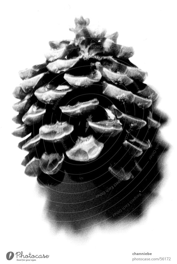 tannenzäpfle Natur Baum Freiheit natürlich Tannenzapfen Licht & Schatten Objektfotografie Vor hellem Hintergrund
