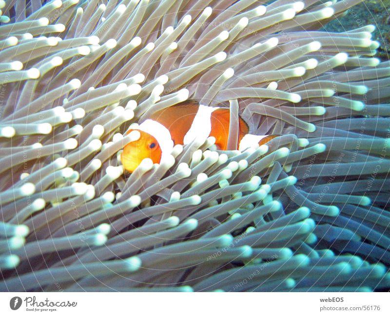 Nemo Anemonenfische Clownfisch Fisch Findet Nemo tauchen Unterwasseraufnahme vorsicht bissig canon s 50 ohne blitz tiefe: 10 meter