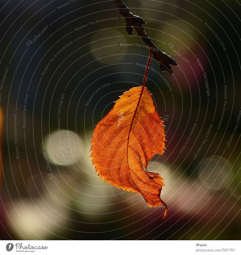 ~ Letztes Gold vom Oktober ~ Natur Herbst Schönes Wetter Pflanze Blatt Zeichen ästhetisch authentisch einzigartig nah natürlich Stimmung Romantik schön Vorsicht