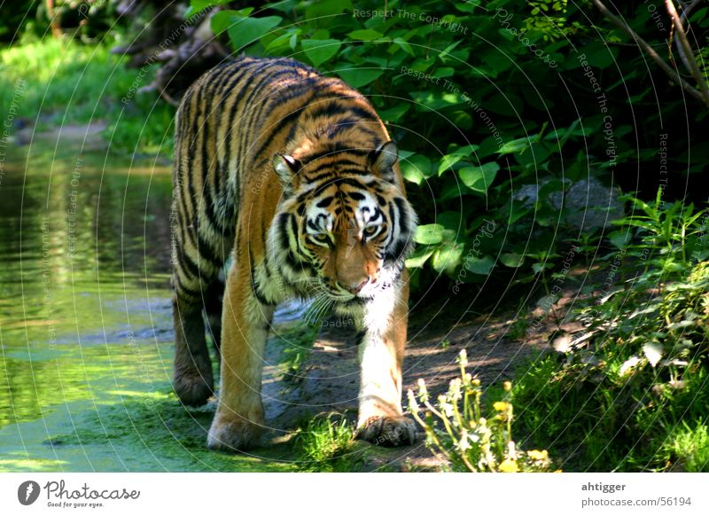 Ein Tiger geht um Wasser Zoo Katze Tiger