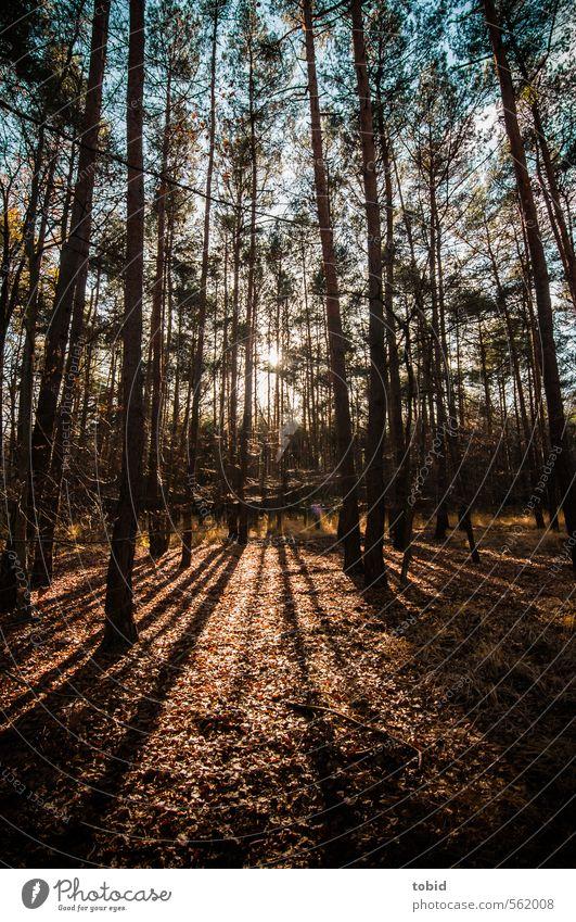 Schatten im Wald Freiheit Natur Pflanze Erde Himmel Sonnenaufgang Sonnenuntergang Sonnenlicht Herbst Schönes Wetter Baum Gras Blatt Holz dünn blau braun