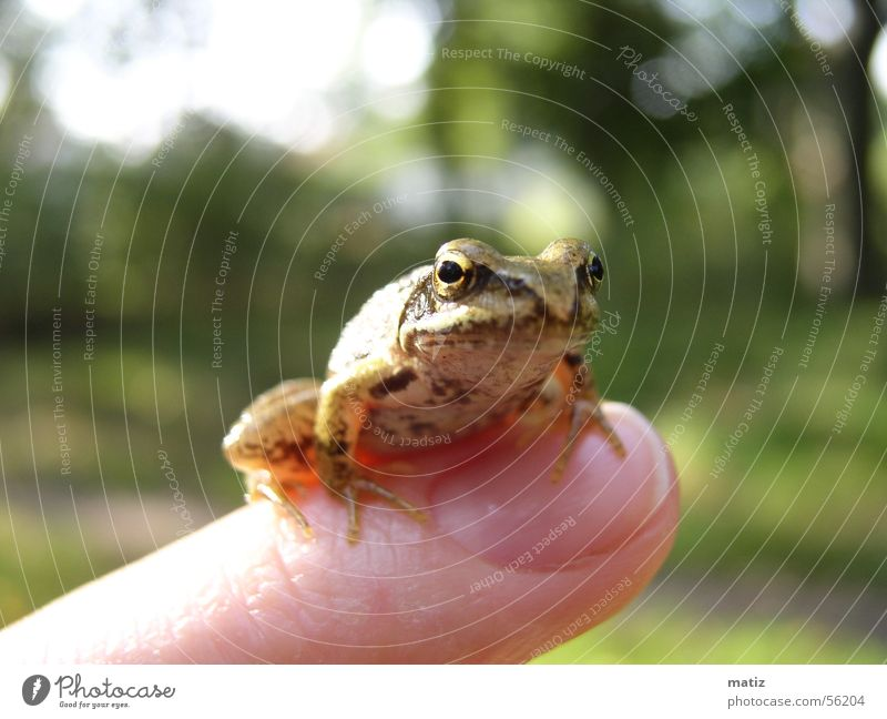 Frosch oder König Natur Sommer