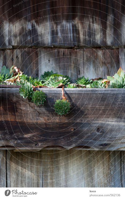 grünzeug. Natur Pflanze Frühling Sommer Schönes Wetter Blatt Grünpflanze Fetthenne Sukkulenten Hütte Mauer Wand Balkon Kasten Blumenkasten Holz Wachstum alt