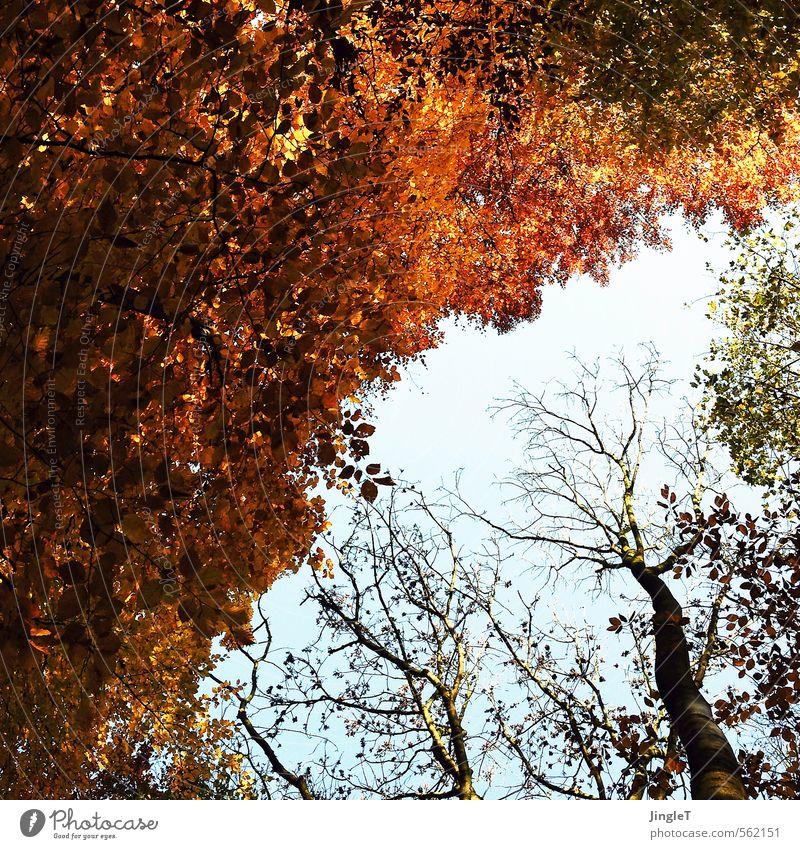 goldener schnitt Umwelt Natur Pflanze Himmel Herbst Baum Blatt Baumkrone Wald atmen genießen Freundlichkeit blau braun gelb grün rot schwarz Zufriedenheit Glück