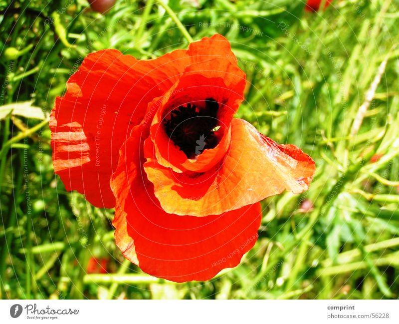 Mohnblüte Sonne Blume Sommer Wiese Blüte Klatschmohn