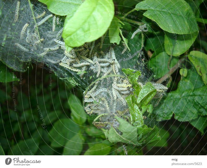 Raupen Blatt Tier