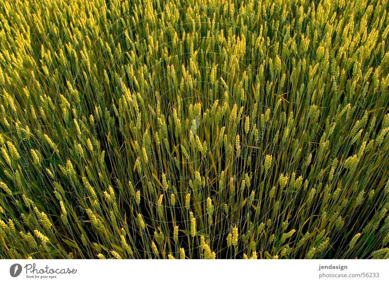 Kornfeld Sonne Leben Frühling Wachstum Aussicht Reifezeit