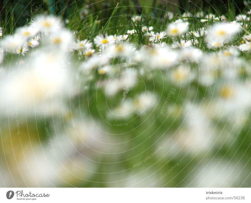 Gänseblümchen im Wind Wiese Blume grün Gras Blüte Sommer Jahreszeiten Pause Unschärfe Halm Außenaufnahme Makroaufnahme Nahaufnahme Frühling Freiheit liegen