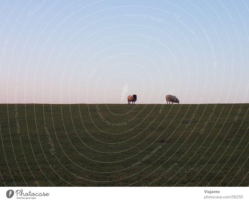 Horizontschafe Himmel Natur blau grün Landschaft ruhig Tier Wiese Küste Horizont Hintergrundbild Deutschland Tierpaar Landwirtschaft Bauernhof Schaf