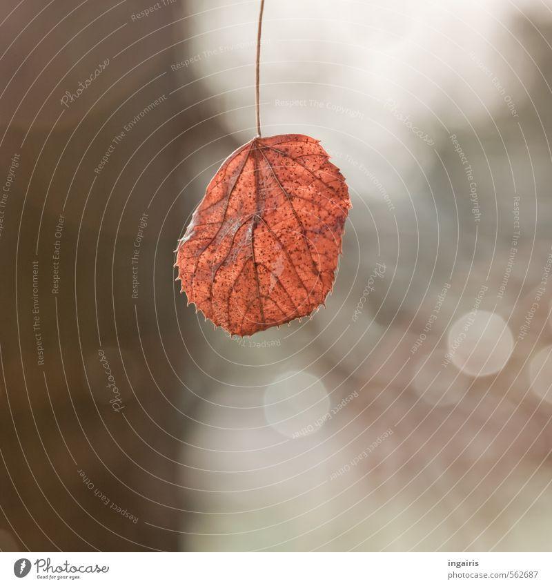 Es winkt der Winter Natur Herbst Pflanze Baum Blatt Zeichen glänzend hängen leuchten dehydrieren einfach trocken braun grau schwarz weiß Stimmung ruhig