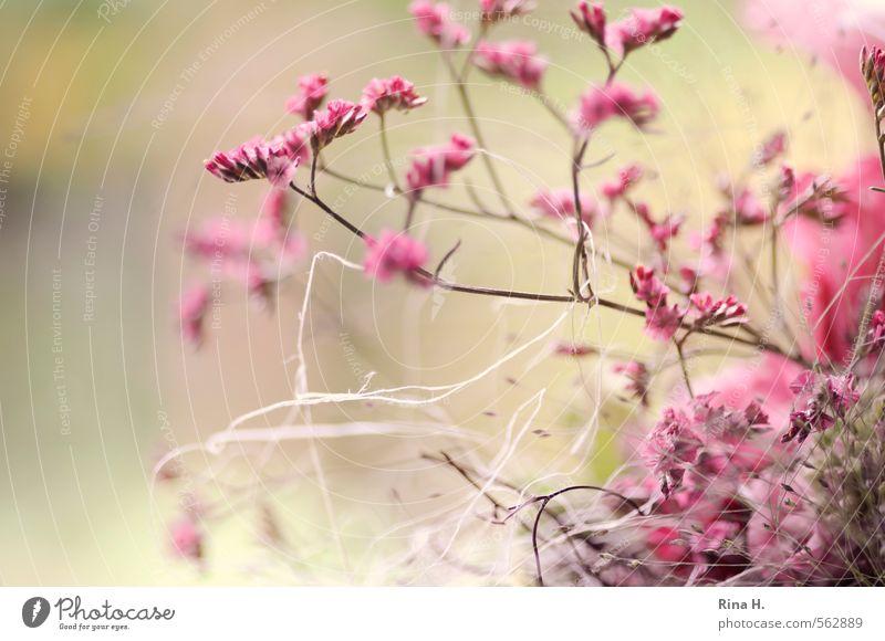 RoSa Pflanze Blume rosa Dekoration & Verzierung Schnur Blühend zart Blumenstrauß sanft Zweige u. Äste