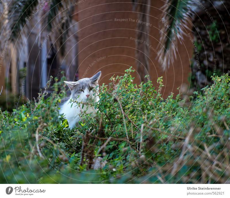 Gatto di strada 2 Sträucher Blatt Palmenwedel Park Cagliari Sardinien Platz Gebäude Fassade Tier Haustier Katze Tiergesicht Straßenkatze 1 beobachten sitzen