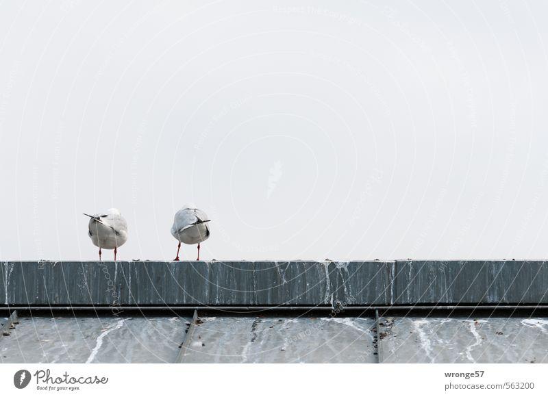 Hinterseite Tier Himmel Herbst Dach Dachfirst Wildtier Vogel Möwe Möwenvögel 2 grau Zusammensein Rücken Rückansicht Hinterteil Tierpaar Untersicht Farbfoto
