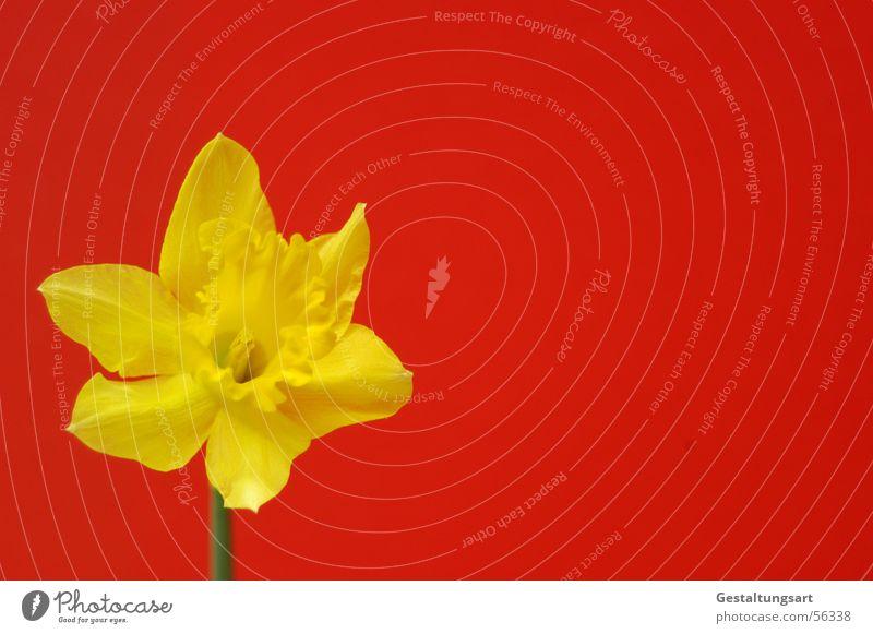 Große chinesische Flagge Pflanze schön grün Sonne rot Blume gelb Frühling Blüte Stil Wachstum offen Blühend nah Wohnzimmer Stempel