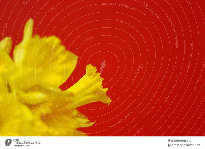 Kontrastreich Gelbe Narzisse Narzissen Märzenbecher Blume Frühling aufwachen Pflanze Wachstum Reifezeit schön Blüte Blühend Blütenkelch gelb grün rot Stil Seite
