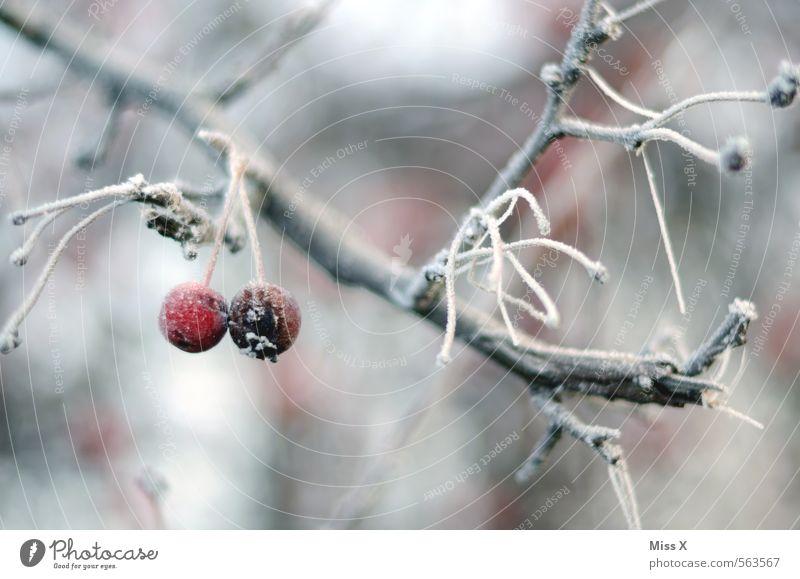 Winterapfel Frucht Apfel Garten Natur Wetter schlechtes Wetter Eis Frost Schnee Baum frieren hängen kalt rot Ast Zweig Apfelbaum Raureif gefroren Winterstimmung