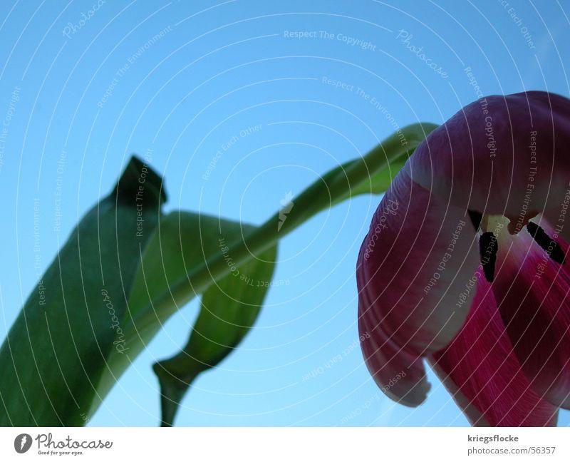 lass den kopf nicht hängen!!! Himmel Blume blau Pflanze Blatt Blüte Frühling Stengel Tulpe