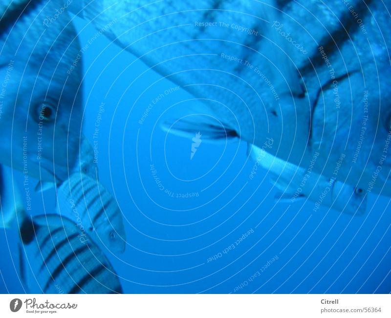 Geglubsche Wasser Meer blau Fisch nah tauchen Streifen Unterwasseraufnahme