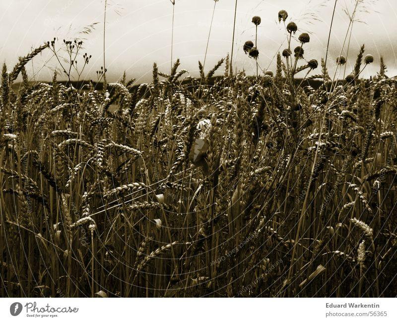 Kornfeld Natur Pflanze dunkel Herbst gold