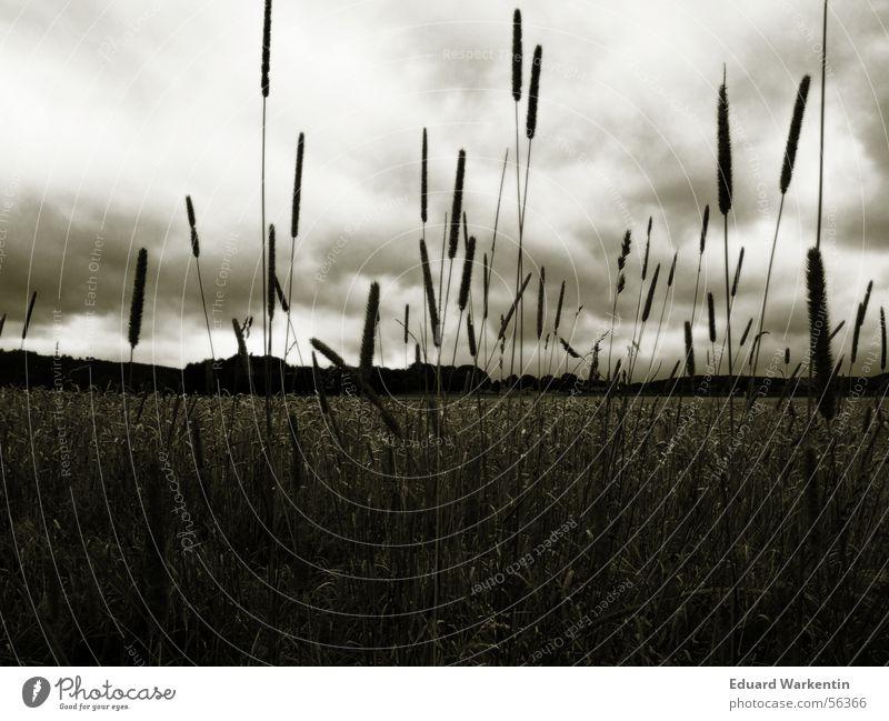 Da braut sich was zusammen Himmel Pflanze ruhig Wolken dunkel Feld Sturm Kornfeld