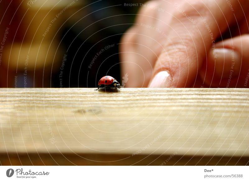 auf der Flucht Marienkäfer zart rot klein Tier Finger Europa Hand Tisch Möbel Mann Europäer knallig hilflos Außenaufnahme Weitwinkel Nahaufnahme deutshcland