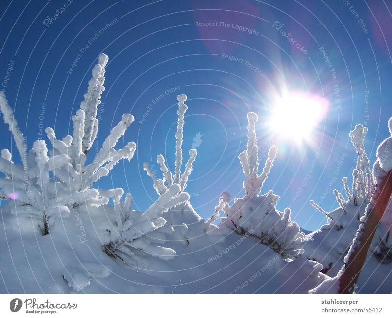 Strahlender Tannenbaum Sonne Winter Schnee Eis Baum Blauer Himmel Neuschnee