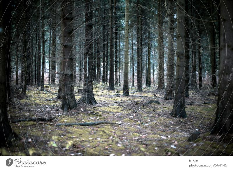 mama, it´s cold outside Umwelt Natur Landschaft Herbst Winter Baum Moos Nadelbaum Baumstamm Wald Nadelwald Waldboden stehen bedrohlich dunkel gruselig kalt