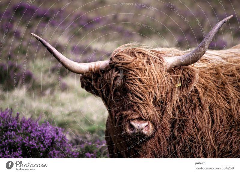 Wo gehts hier zum Friseur? Nutztier Kuh Fell 1 Tier Ferien & Urlaub & Reisen Horn Schottland Heide Rind Schottisches Hochlandrind Gedeckte Farben Außenaufnahme