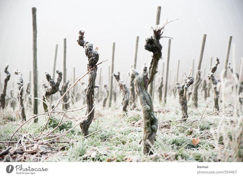 Kalte Krieger Umwelt Natur Winter schlechtes Wetter Nebel Eis Frost Pflanze Gras Nutzpflanze Wein kalt viele Stimmung leer trist Farbfoto Gedeckte Farben