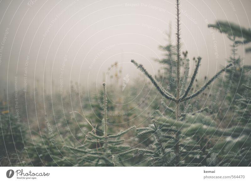 Kalte Weihnachtsbäume // Ready to be geschmückt. Umwelt Natur Pflanze Winter schlechtes Wetter Nebel Eis Frost Baum Weihnachtsbaum Tanne Fichte Nadelbaum kalt