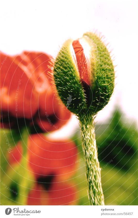 Mohnknospe grün rot Unschärfe Pflanze Blume Sommer Reifezeit Blüte Makroaufnahme Nahaufnahme Blütenknospen Stachel Garten Natur Wachstum Stengel Elektrizität