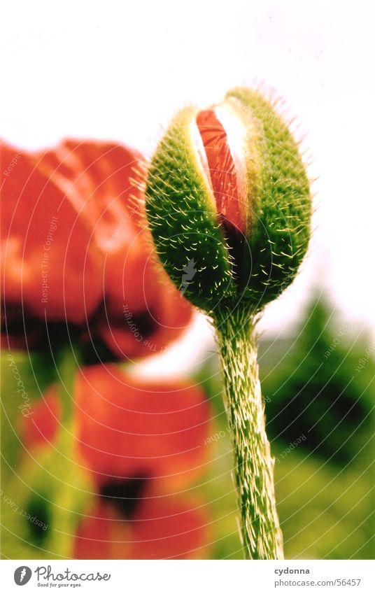 Mohnknospe Natur grün rot Pflanze Sommer Blume Blüte Garten Wachstum Elektrizität Stengel reif Blütenknospen Stachel Reifezeit