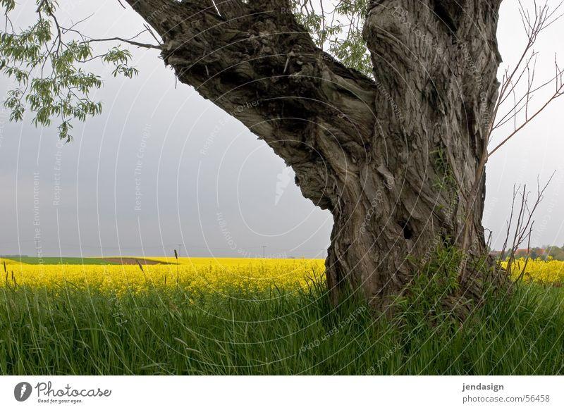 Alte Weide am Rapsfeld Baum Sommer Wachstum Weisheit Baumrinde Reifezeit