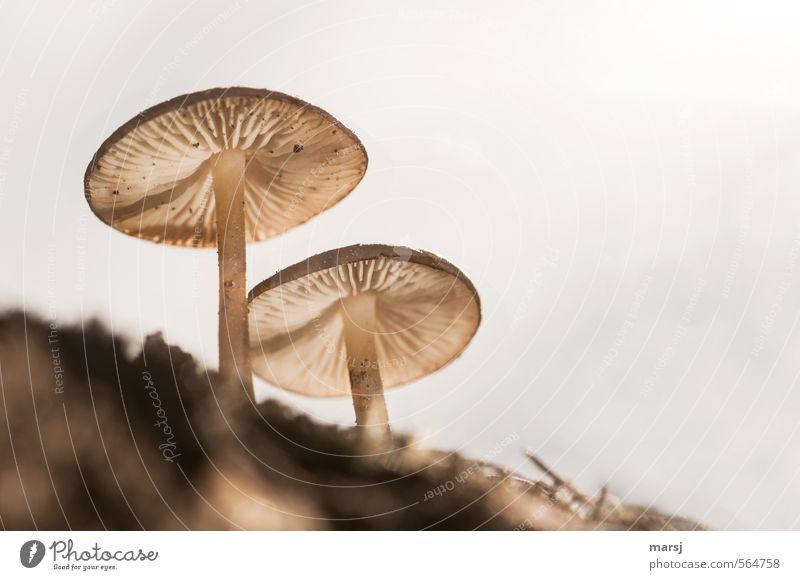 II Natur Pflanze Erde Himmel Sommer Herbst Wildpflanze Pilz Pilzhut Blühend stehen Wachstum außergewöhnlich authentisch elegant nah natürlich dünn braun