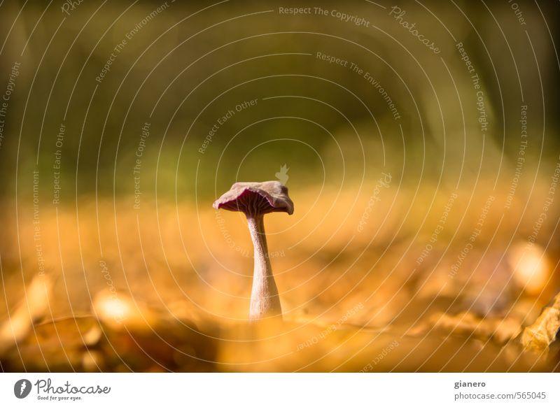 Pilz im Herbstglanz Natur grün Pflanze Sonne Landschaft Blatt Wald Umwelt Wärme Park gold Kraft glänzend Erde leuchten