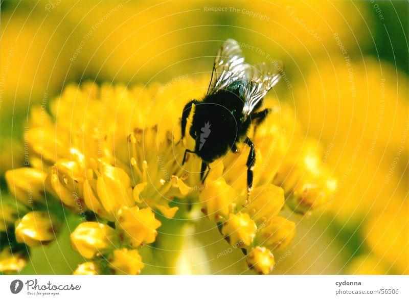 Ich Sauger, Du Biene (oder Hummel) Natur Pflanze Blume Tier gelb Farbe Blüte Flügel Insekt Sammlung Pollen Honig saugen