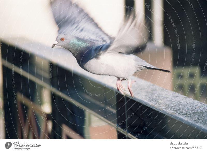Taube im Abflug Tier Bewegung Vogel fliegen Brücke Feder Dynamik Geländer Taube Abheben Anschnitt Momentaufnahme Kurpark Landkreis Bad Kissingen