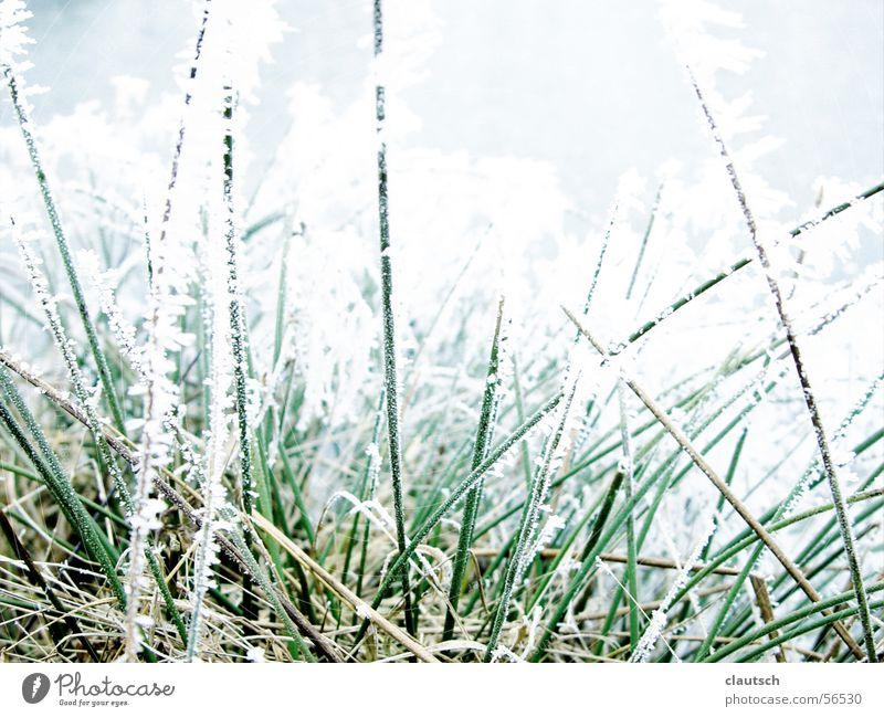 gefrorenes gras Winter Gras Halm Wiese frieren kalt grün stachelig ruhig Frost Eis Raureif Stachel Spitze blau Natur