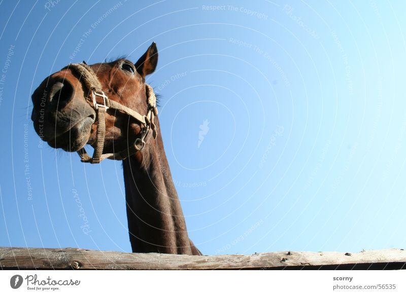 Fury waits for the slaughterhouse... Pferd Pferdekopf braun Holz Holzzaun Zaun Zaumzeug Himmel blau Hals