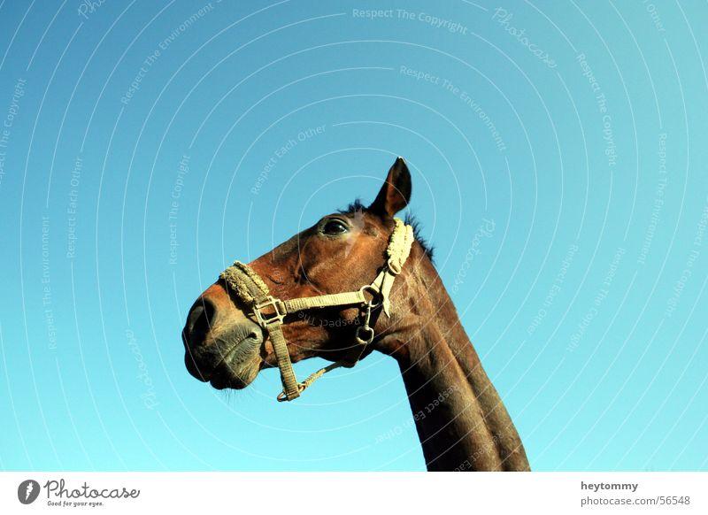 Hoppe, hoppe Reiter.. Himmel blau Ferien & Urlaub & Reisen Tier springen lustig braun Freizeit & Hobby laufen Pferd Schönes Wetter Jagd Hals Säugetier Pony