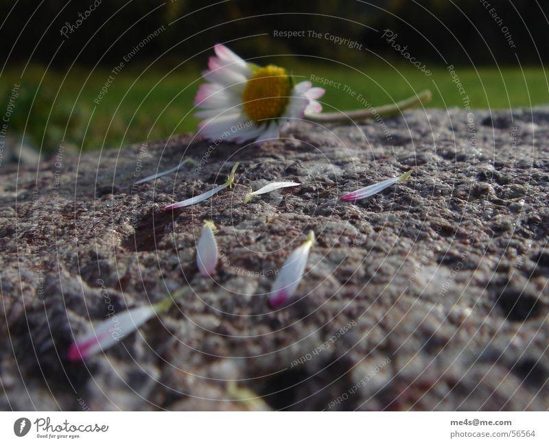 Sie liebt mich,... Gänseblümchen Hoffnung Partnerschaft Fragen Orakel gelb weiß grün Blatt gerupft kaputt Blüte Blume Tier Frühling Margerite Maria Heilpflanzen