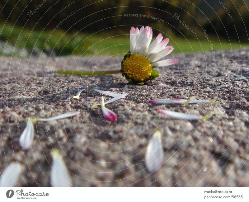 ...von Herzen, Gänseblümchen Hoffnung Partnerschaft Fragen Orakel gelb weiß grün Blatt gerupft kaputt Blüte Blume Tier Frühling Margerite Maria Heilpflanzen