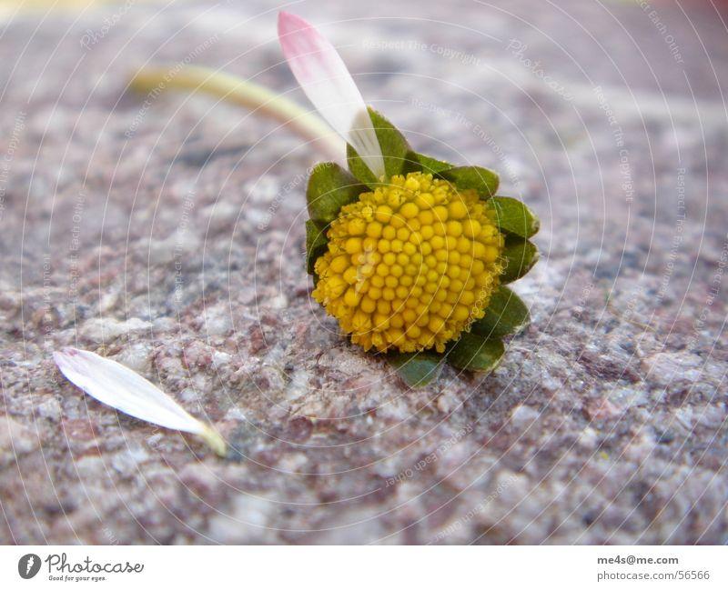 ...mit Schmerzen, Gänseblümchen Hoffnung Partnerschaft Fragen Orakel gelb weiß grün Blatt gerupft kaputt Blüte Blume Tier Frühling Margerite Maria Heilpflanzen